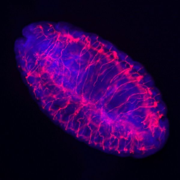 Stereo Zoom Microscope Image of a Drosophila Embryo